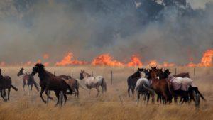horses in a bushfire