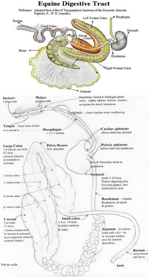 The Digestive Tract of a Horse - Canberra Equine Hospital Horse Vets ...